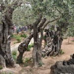 Garden of Gethsemane with ancient olive trees. One tree dates back to time of Jesus.