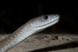 Black Mamba head